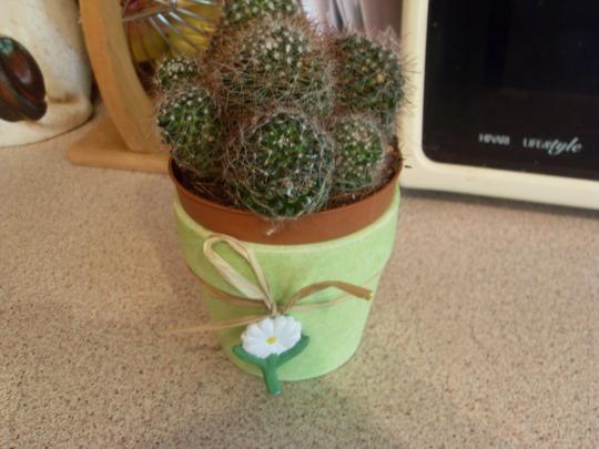 new cactus and pot