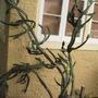 Candelabra Catus (Euphorbia lactea (Hat rack Cactus))
