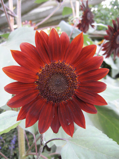 Velvet Queen Sunflower (Helianthus annuus (Sunflower))