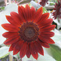 Velvet Queen Sunflower (Helianthus annuus (Sunflower))