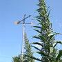 Echiums 2007 (Echium pininana (Tree echium))