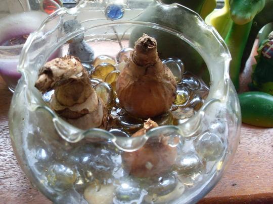 Daffidol bulbs in bowl