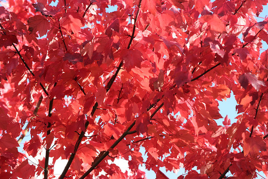 Red Maple 'October Glory' (Acer rubrum 'October glory')