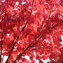 Red Maple &#x27;October Glory&#x27; (Acer rubrum &#x27;October glory&#x27;)