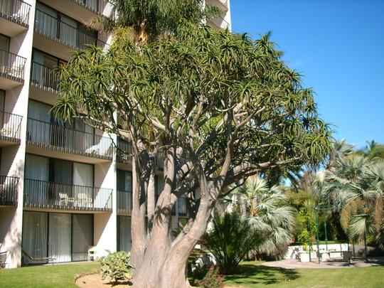 Aloe bainsii - Tree Aloe (Aloe bainsii)
