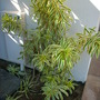Dracaena reflexa &#x27;Song of India&#x27; (Dracaena reflexa &#x27;Song of India&#x27;)