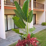 Ravenala madagascariensis - Traveler's Palm (Ravenala madagascariensis - Traveler's Palm)