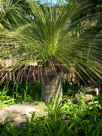 Xanthorea australis - Grass Palm (Xanthorea australis - Grass Palm)