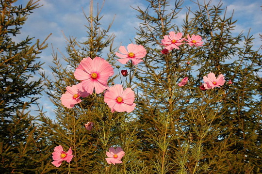 Cosmos in Fall