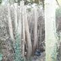 Leylandii trunks after topping