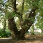 Quercus (Oak) (Quercus robur (English oak))