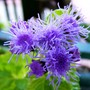 New camera practice shots 1 (Ageratum houstonianum)