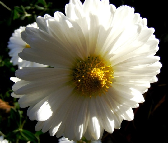 New camera practice shots 7 (Chrysanthemum maximowiczii)