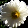 New camera practice shots 7 (Chrysanthemum maximowiczii)