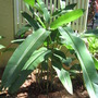 Heliconia rostrata (Lobster Claw)
