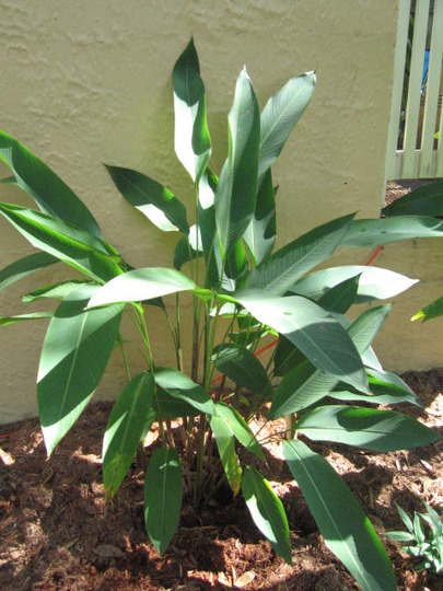 Heliconia (small) (Heliconia)