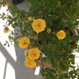 The yellow rose still blooming! (Rosa)