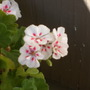 White-Splash geranium finally recovered! (Pelargonium)
