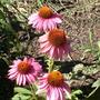 Echinacea.  Purple cone flower.
