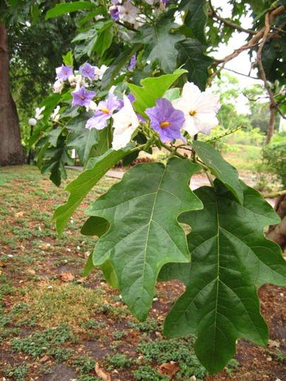 Flowering Potato Tree (Solanum macranthum)