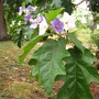 Flowering Potato Tree (Solanum macranthum)