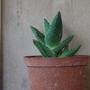 Aloehumilis409