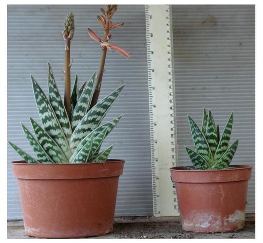 ALOE VARIEGATA (Aloe variegata)