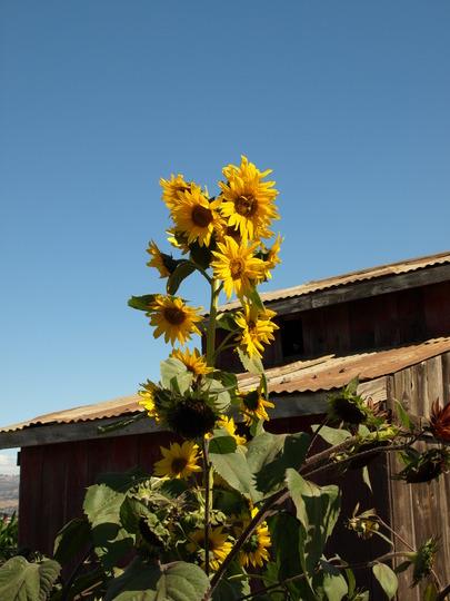 Sun flowers and blue sky