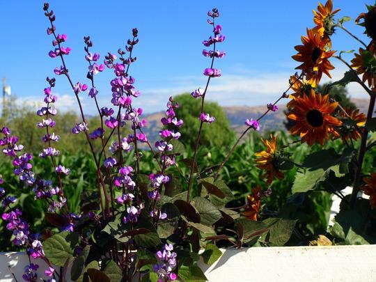 Scarlet runner beans and Sun flowers