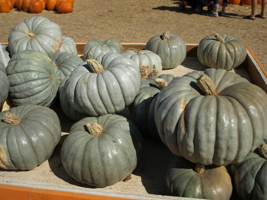 Blue Max Pumpkins