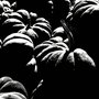 Black and white- Pumpkins