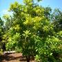 Pouteria sapota - Mammee Sapote (Pouteria sapota - Mammee Sapote)
