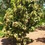 Syzygium samarangense - Wax Jambu, Java Apple (Syzygium samarangense - Wax Jambu, Java Apple)