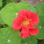 Red Nasturtium Flower (tropaeolum)