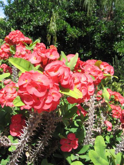 Crown of Thorns (Euphorbia milii (Petit Flamboyant))
