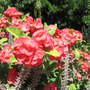 Crown of Thorns (Euphorbia milii (Petit Flamboyant))