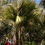 Hedyscepe canterburyana - Umbrella Palm (Hedyscepe canterburyana - Umbrella Palm)