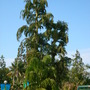 Caryota urens - Fishtail Palm (Caryota urens - Fishtail Palm)