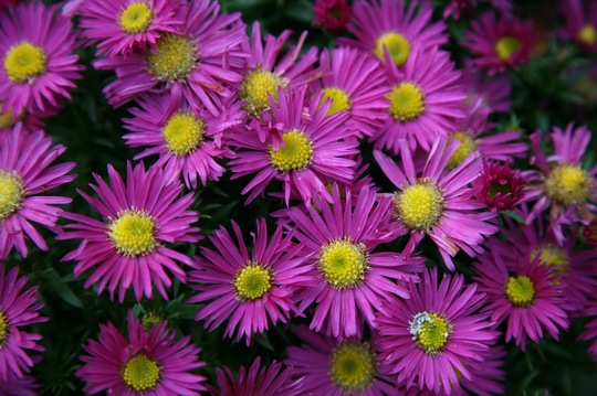 Asters 29 October (Aster)