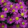 Asters_29_october