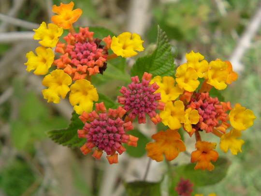 Lantana Camera (Verbenaceae)