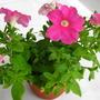 Flower (2) (Petunia)