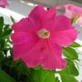 Flower (Up-Close) (Petunia)