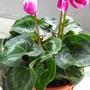 Poison (Cyclamen persicum (Cyclamen Victoria (fimbriata type)))
