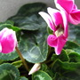 Poison (Up-Close) (Cyclamen persicum (Cyclamen Victoria (fimbriata type)))