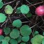 Fuchsia procumbens - berries (Fuchsia procumbens)