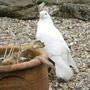 Fan Tail Dove