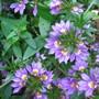Scaevola Blue (Fairy Fan Flowers) (Scaevola (Fairy fan Flower))
