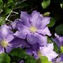 Clematis_the_president