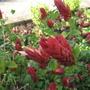 Shrimp Plant (Justicia brandegeana (Shrimp Plant))